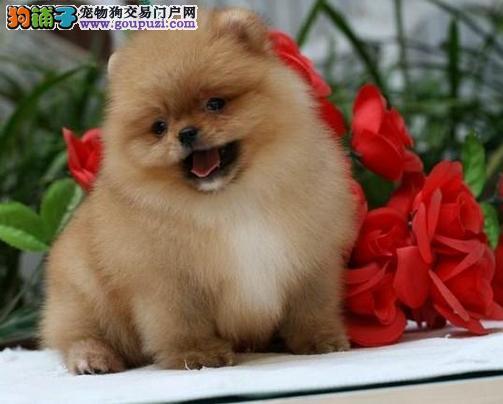 上海市买小博美犬上海市博美犬狗场出售报价