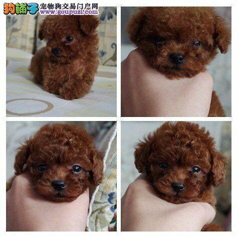 上海市买小泰迪犬上海市泰迪犬狗场出售报价