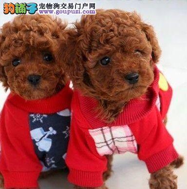 赠送全套狗用品 精品泰迪犬 任何不满意均可退换