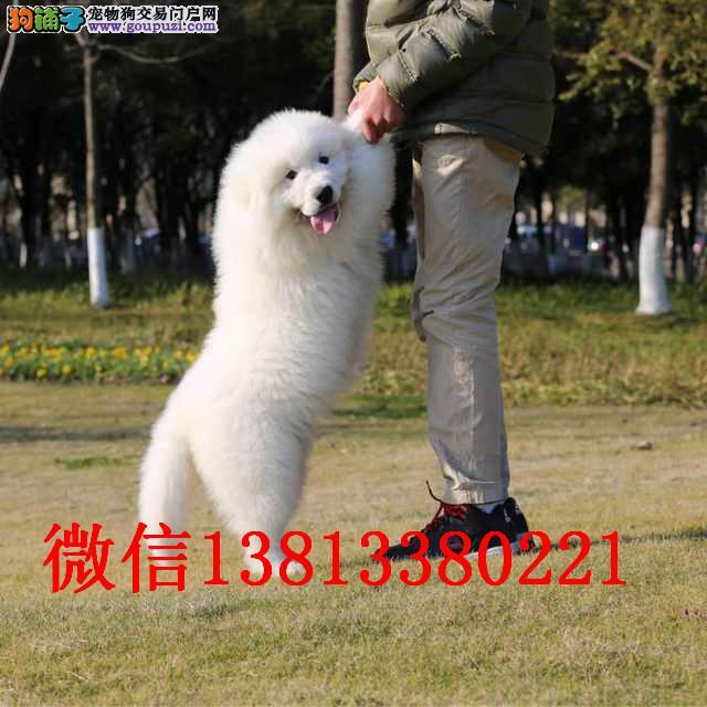 吉林哪里有卖大白熊犬 纯种大白熊多少钱赛级大白熊