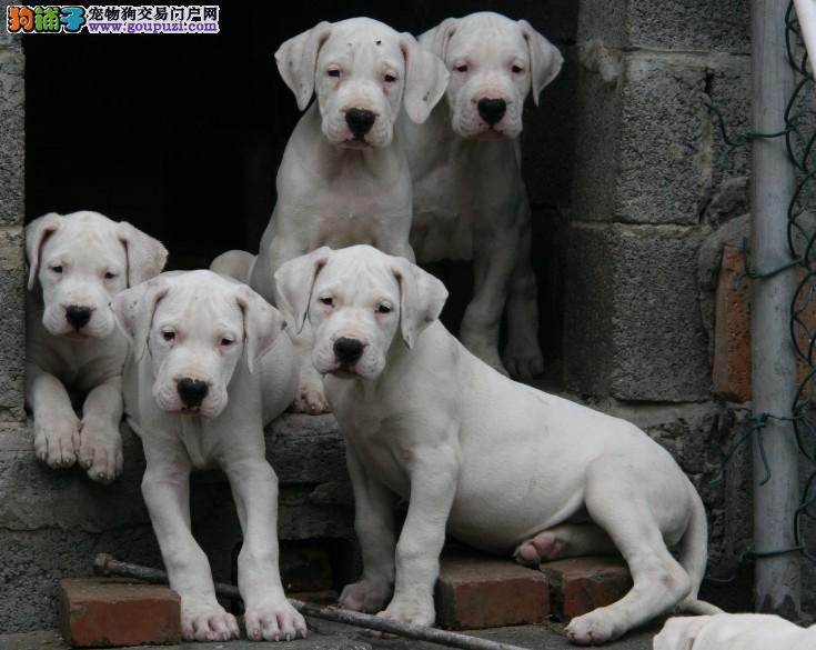 猛士霸气,纯种杜高犬,正规犬舍繁殖,多窝幼犬出售
