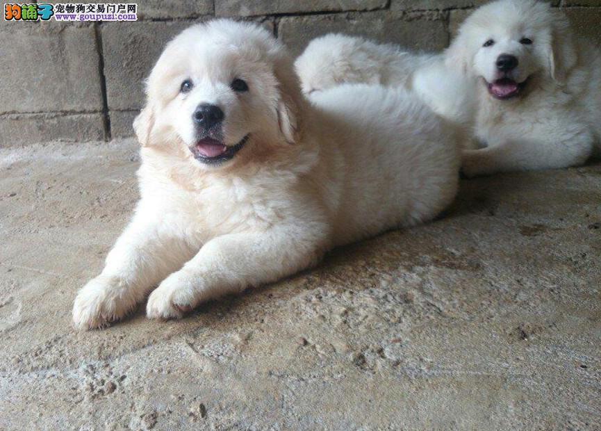 纯种大白熊犬,多窝可选可看视频,头版好骨架粗
