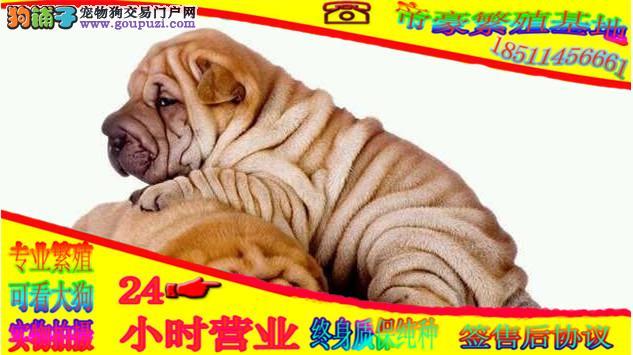 沙皮犬正规犬舍繁育幼犬,百分百保健康,保纯种