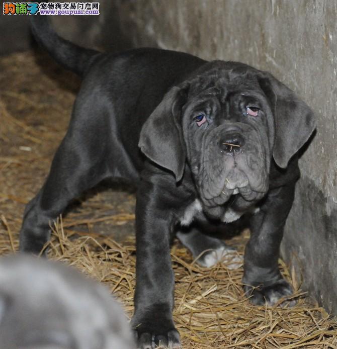 高端品质,纯种纽波利顿,专业繁殖基地出售幼犬