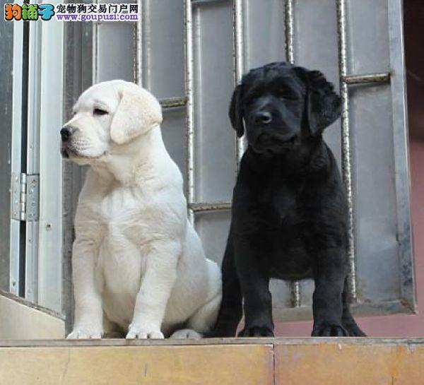 出售活泼赛级纯种拉布拉多幼犬保证纯种健康 血统纯