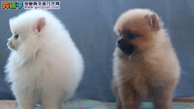 出售活泼赛级纯种博美幼犬保证纯种健康 血统纯