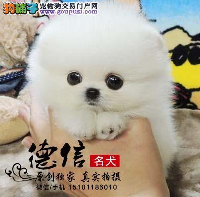 北京出售纯种韩系玩具博美可爱博美幼犬