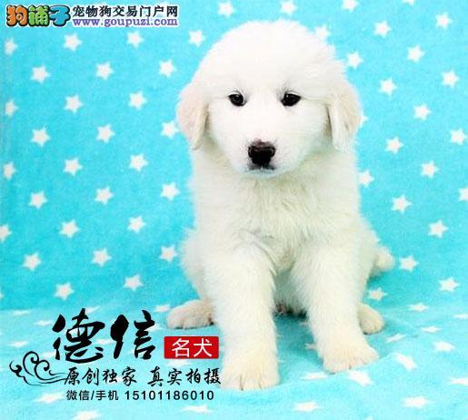 北京德信犬舍出售纯种健康大白熊幼犬