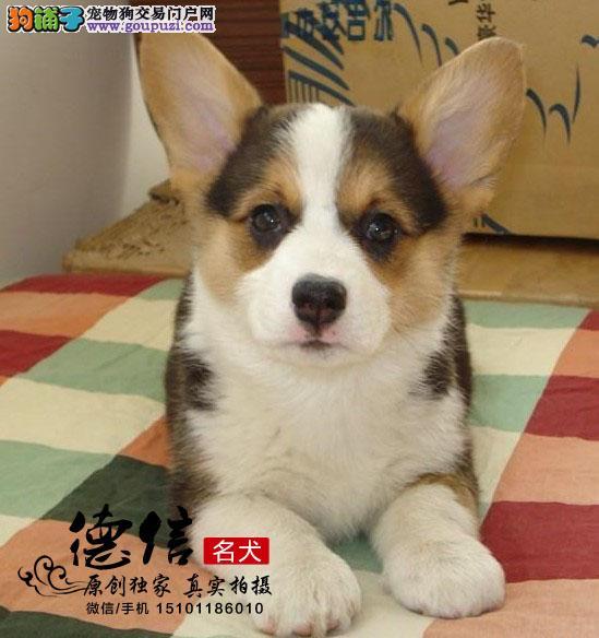 北京犬舍出售纯种柯基幼犬 质保180天
