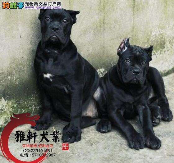顶级猛犬卡斯罗幼犬出售 质保三年签订协议可刷卡送货