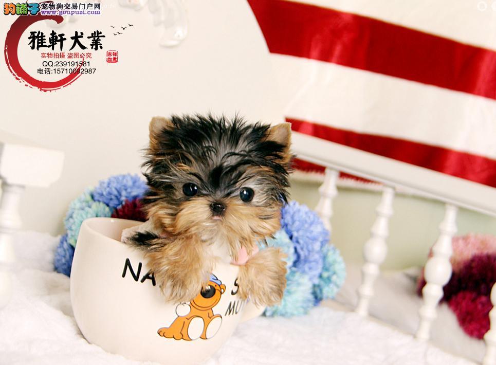超小体约克夏幼犬可免费送货到家 超萌可爱 正规狗场