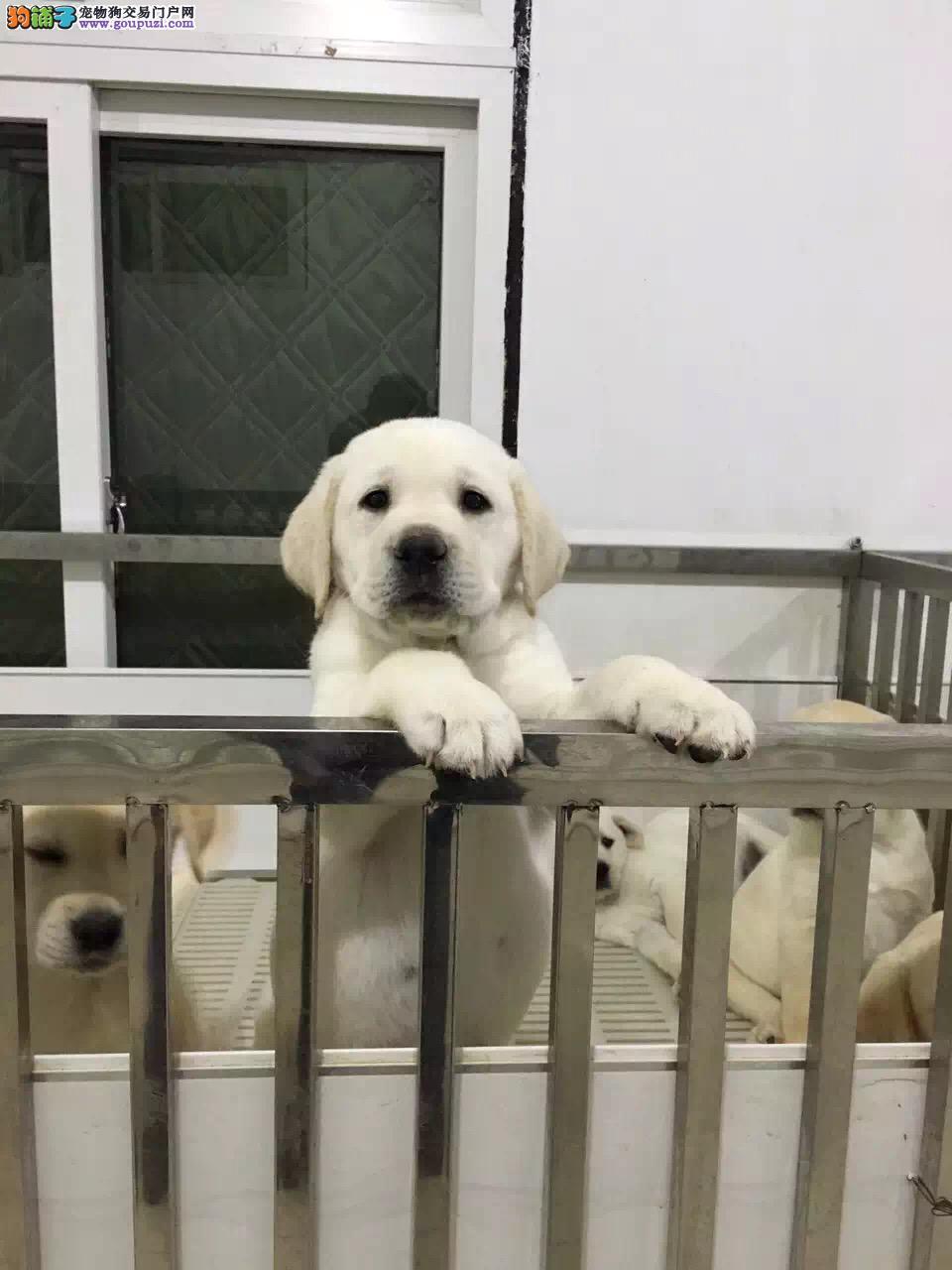 拉布拉多 神犬小七同款
