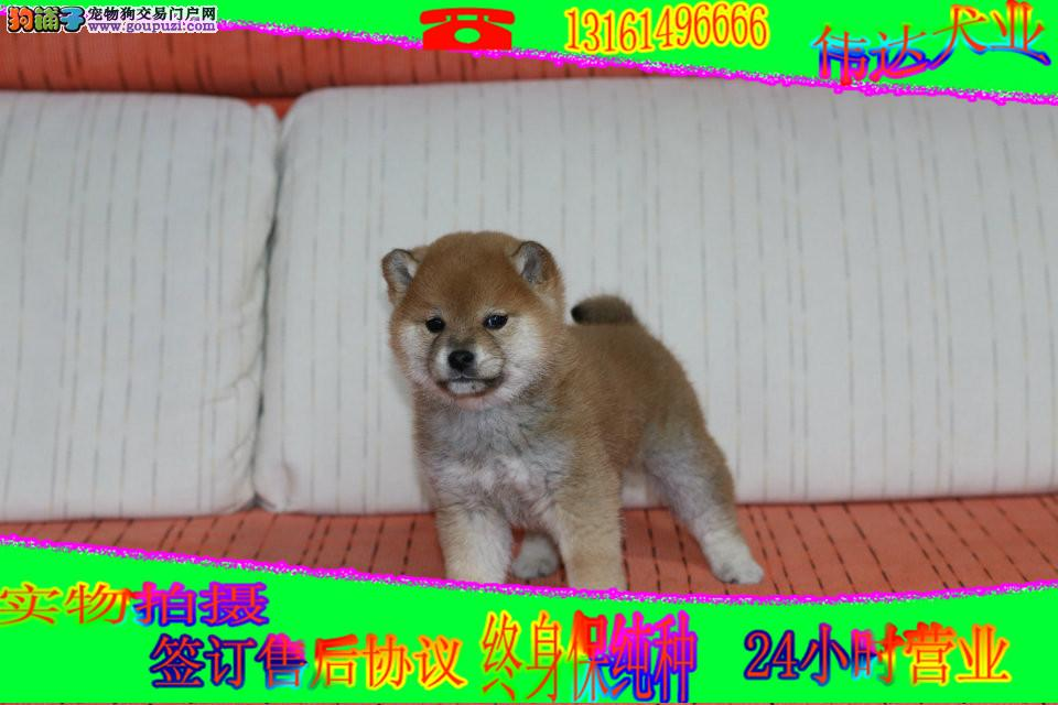 血统犬后代纯种精品日本柴犬