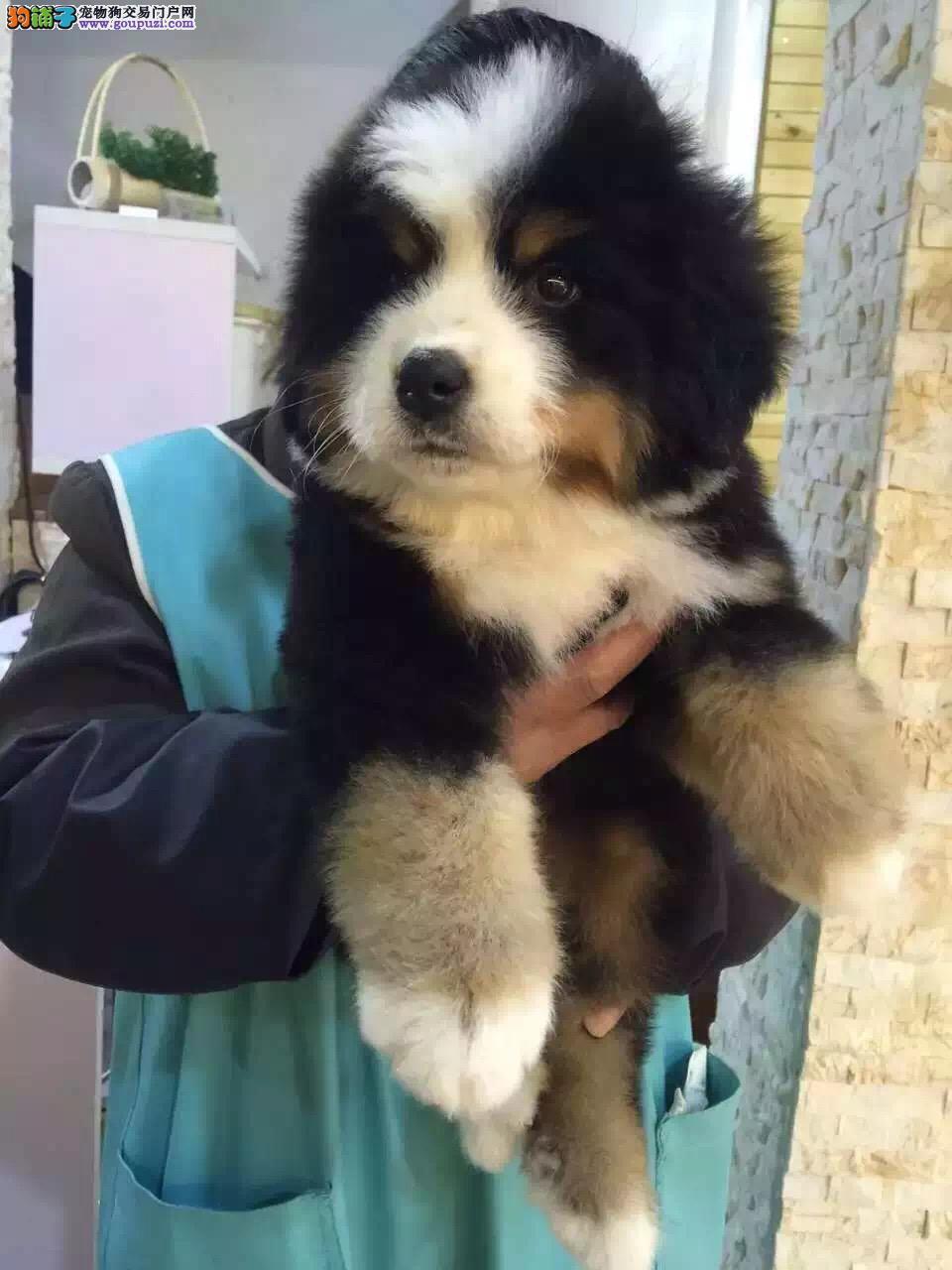 售瑞士伯恩山地犬 专业繁殖