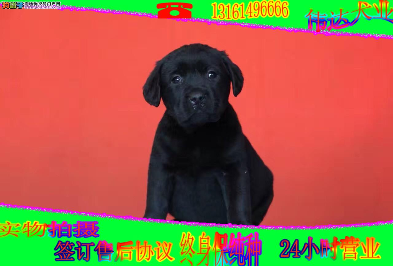 犬舍常年出售纯种健康的拉布拉多 颜色全 质量保障
