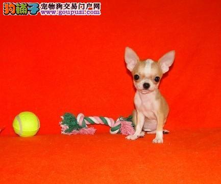 出售纯种吉娃娃幼犬 赛级品质 健康质保