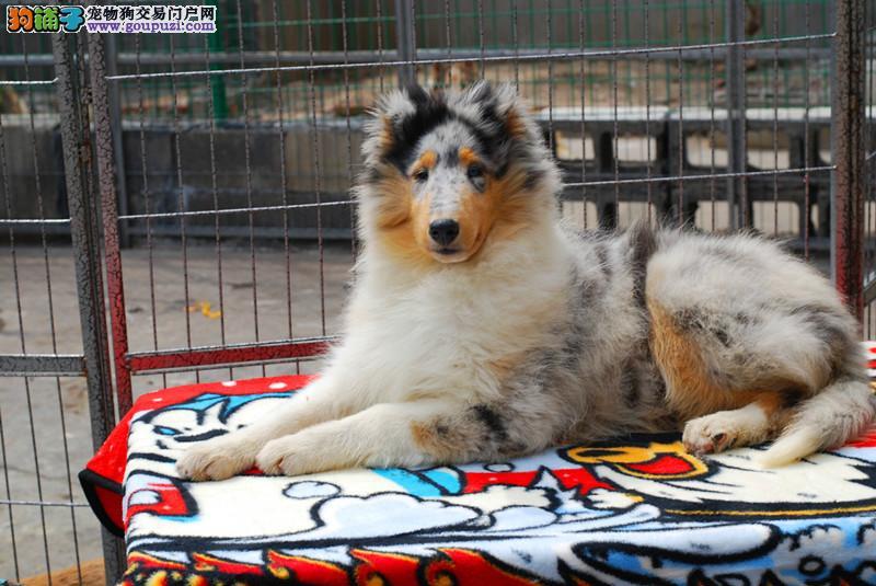 纯种苏格兰牧羊犬幼犬 毛色靓体型佳