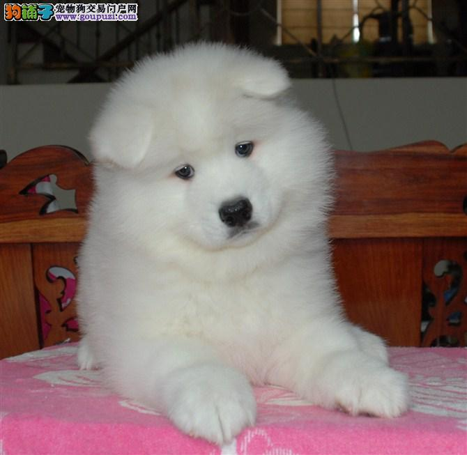 萨摩 宠物狗萨摩萨摩幼犬 萨摩犬舍