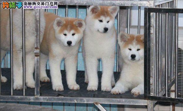 秋田犬 有秋保证书 日系纯种秋田犬
