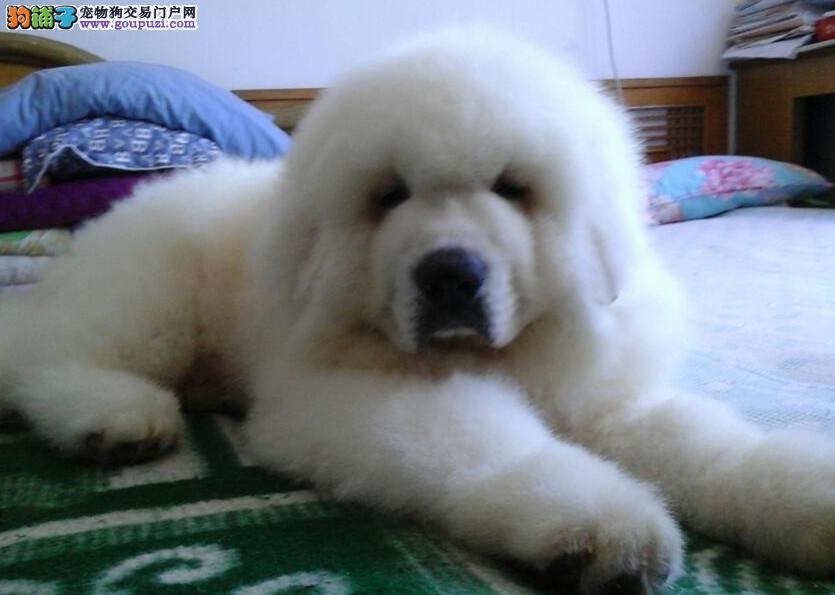 大白熊、有血统、纯种健康、完善售后、免费送货
