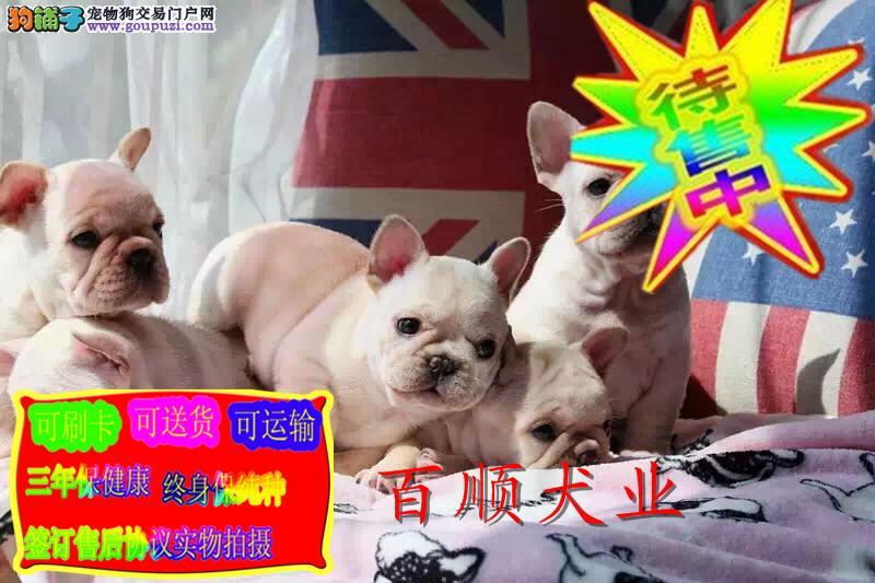 法国斗牛犬 高品质赛级血统 全国包邮