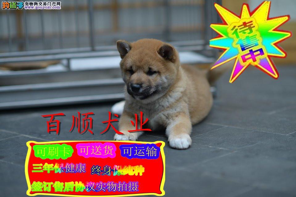 柴犬,日系,纯种。签协议,健康保90天