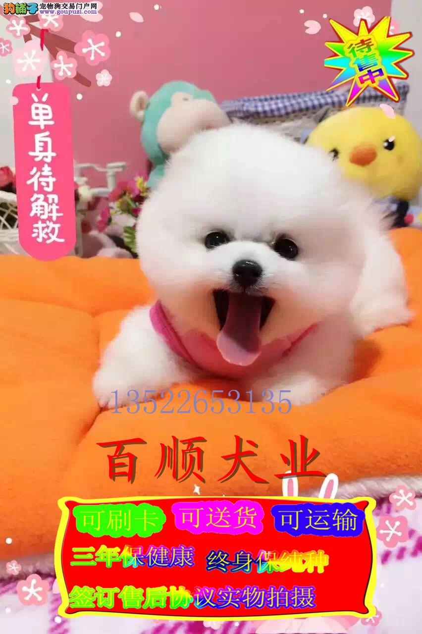 白富美纯种博美纯种博美球体犬出售