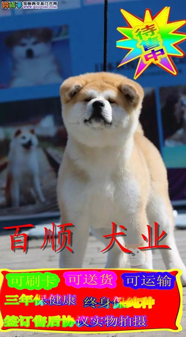 秋田犬、实物拍摄,正规犬舍,签质保协议
