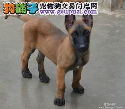 四川巴中哪里有卖两三个月杜高犬