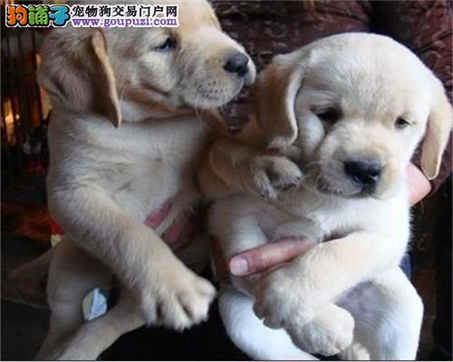 上海本地拉布拉多 有证 保证健康!自取1000