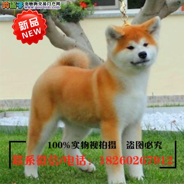 陇南地区出售精品赛级秋田犬,低价促销
