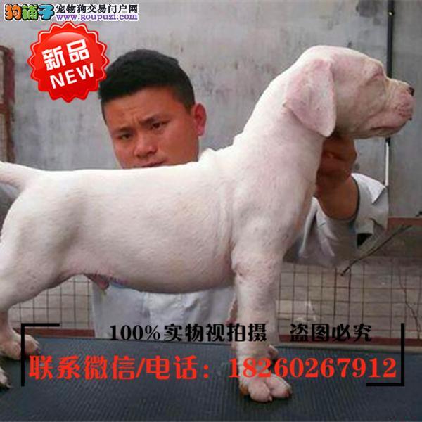 陇南地区出售精品赛级杜高犬,低价促销
