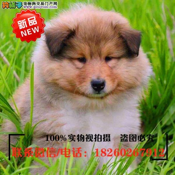 黄南州出售精品赛级苏格兰牧羊犬,低价促销