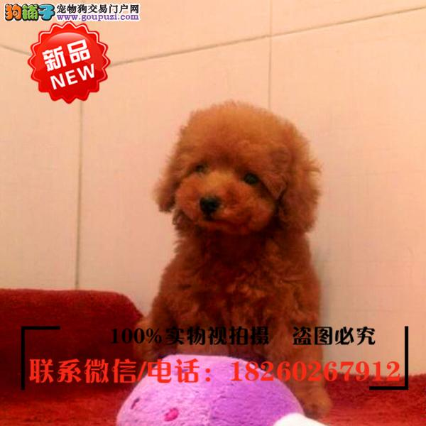 榆林市出售精品赛级泰迪犬,低价促销