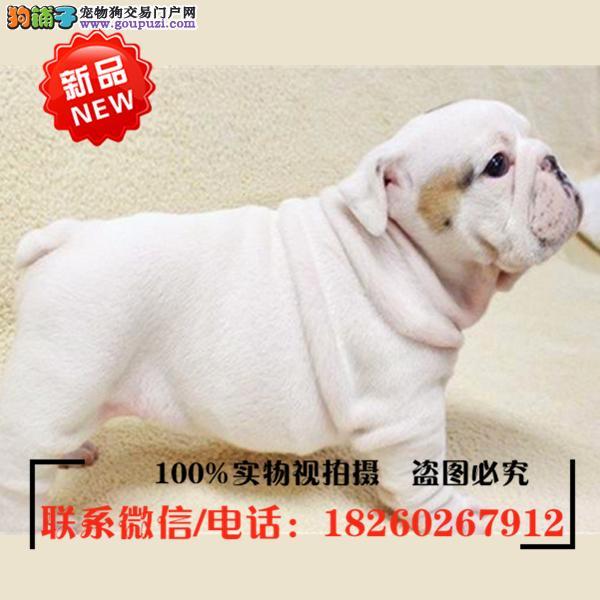 武清区出售精品赛级英国斗牛犬,低价促销