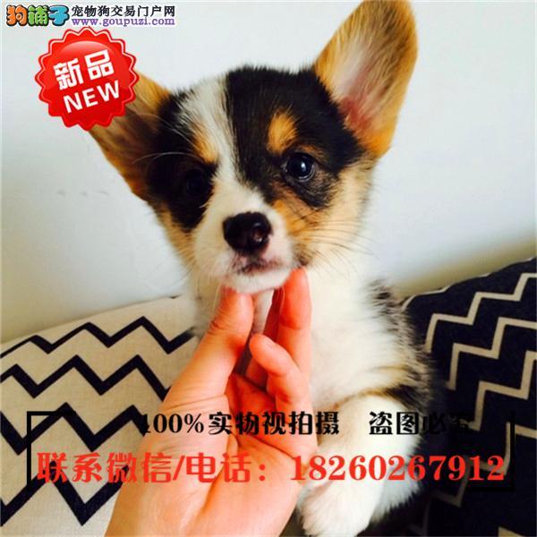 武清区出售精品赛级柯基犬,低价促销
