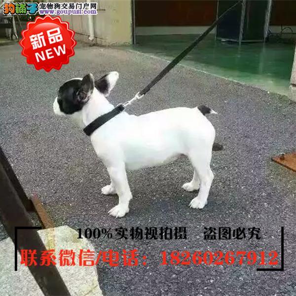 赤峰市出售精品赛级法国斗牛犬,低价促销