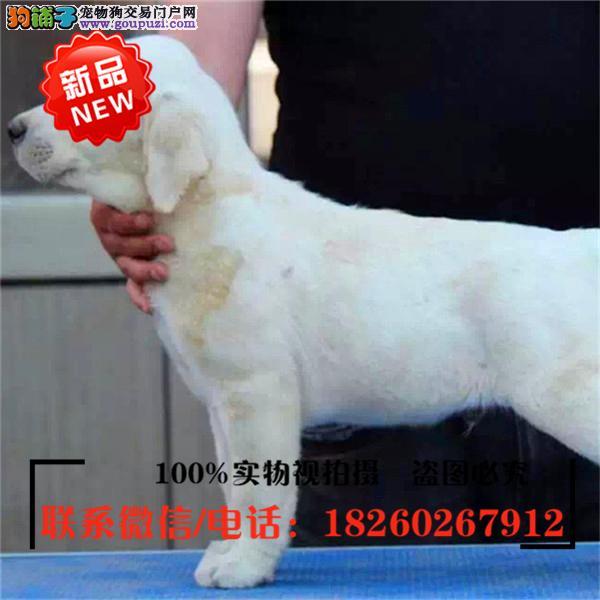 吐鲁番出售精品赛级拉布拉多犬,低价促销