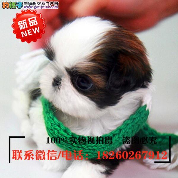 吐鲁番出售精品赛级西施犬,低价促销