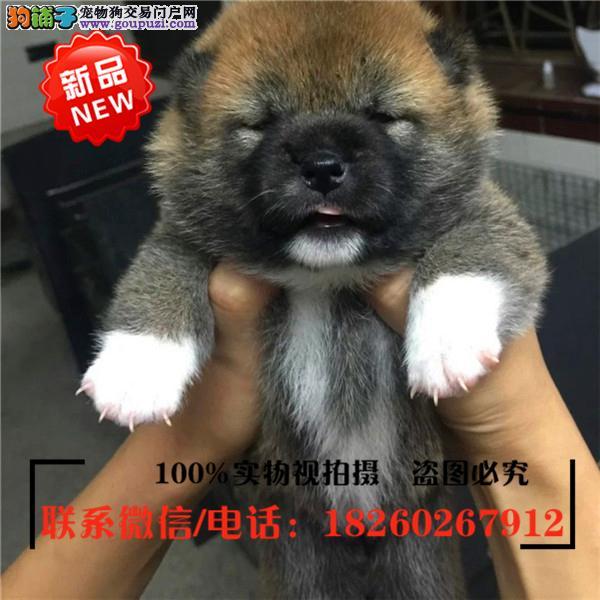 万盛区出售精品赛级柴犬,低价促销