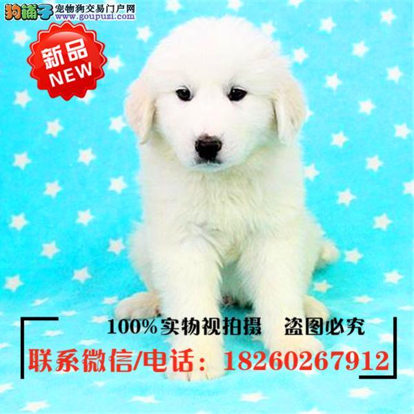 喀什地区出售精品赛级大白熊,低价促销