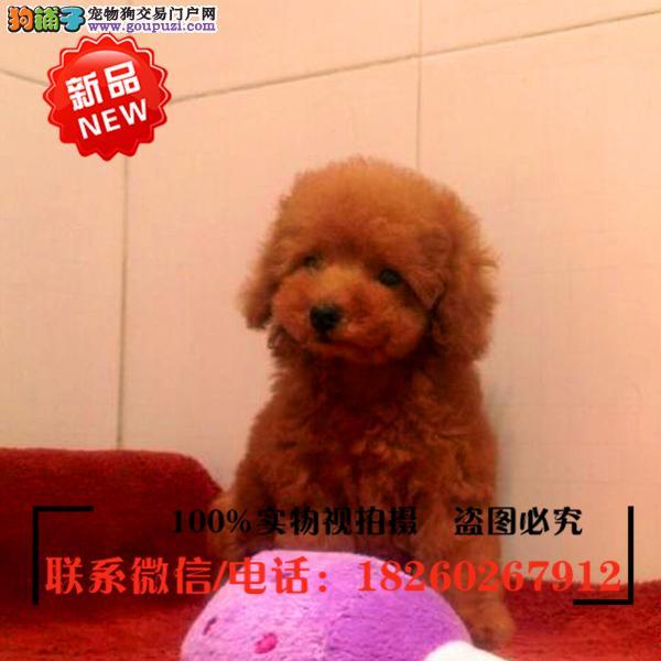 平顶山市出售精品赛级泰迪犬,低价促销