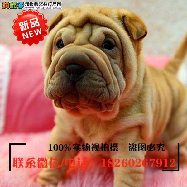 青岛市出售精品赛级沙皮狗,低价促销