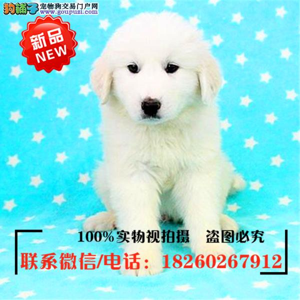 潍坊市出售精品赛级大白熊,低价促销