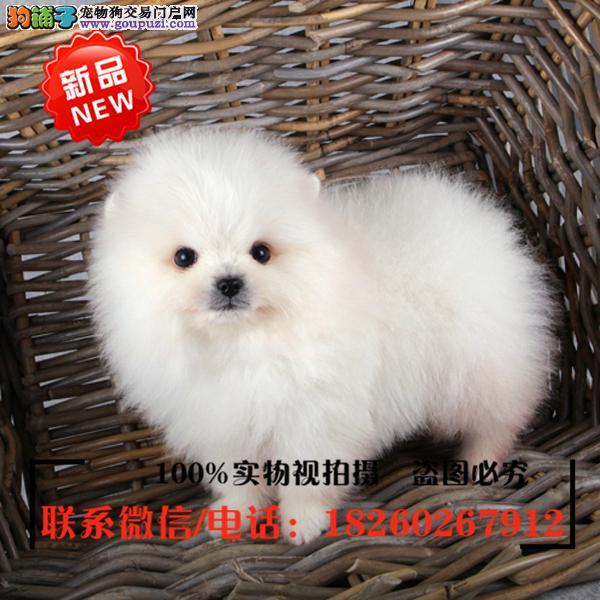 柳州地区出售精品赛级博美犬,低价促销