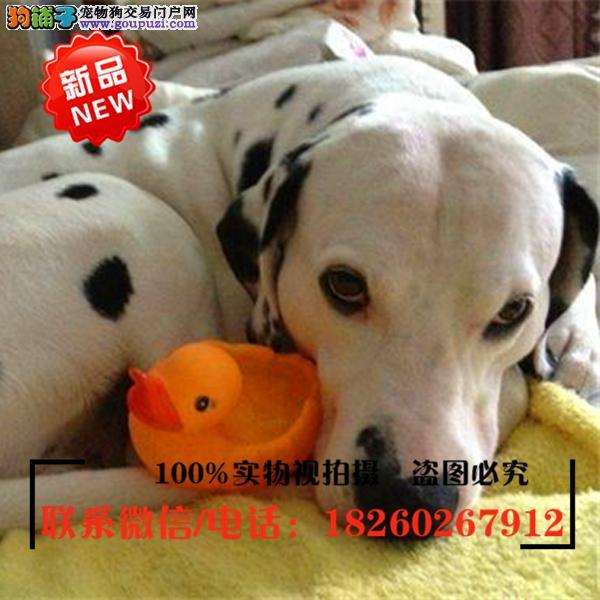 毕节地区出售精品赛级斑点狗,低价促销