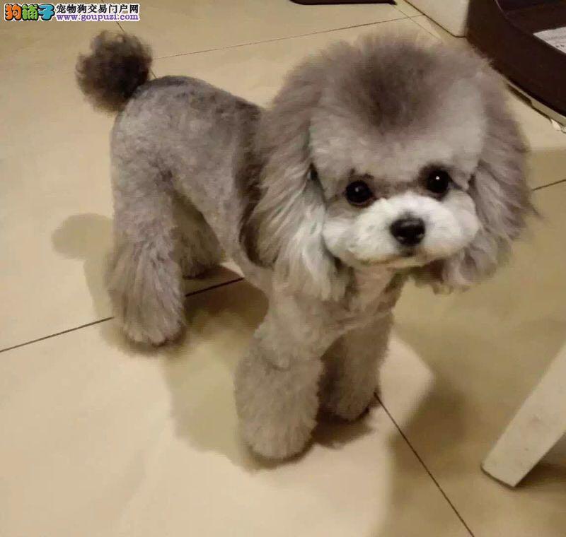 泰迪熊 纯种泰迪熊犬 灰色泰迪熊 茶杯犬,100%包活