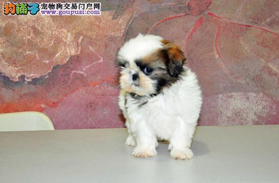 健康超级可爱西施幼犬宝宝喜欢的朋友可上门挑选