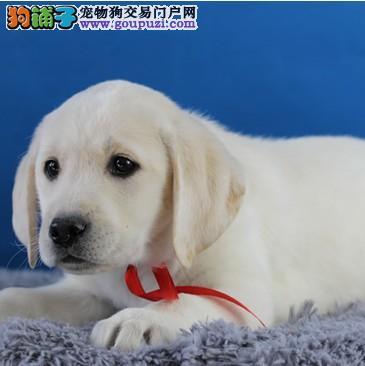 家养一窝纯种拉布拉多幼犬出售。有黑有白。