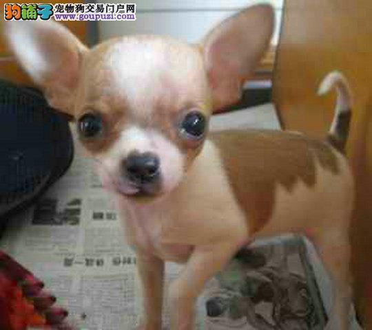 吉娃娃犬大概多少钱吉娃娃哪里出售吉娃娃图片